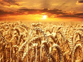 wheat-field-wheat-cereals-grain-39015