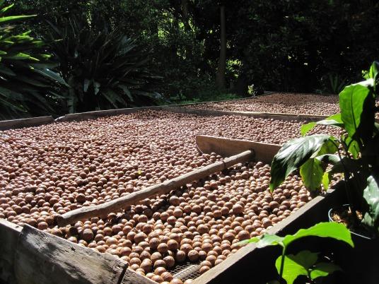 macadamia-nut-912598_1920